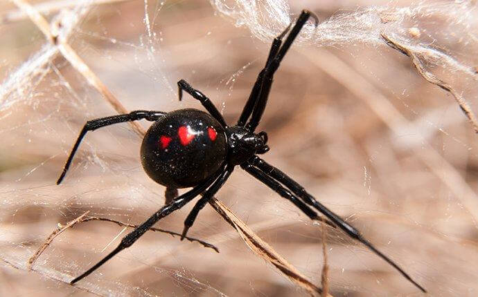 black-widow-spider-in-the-fall