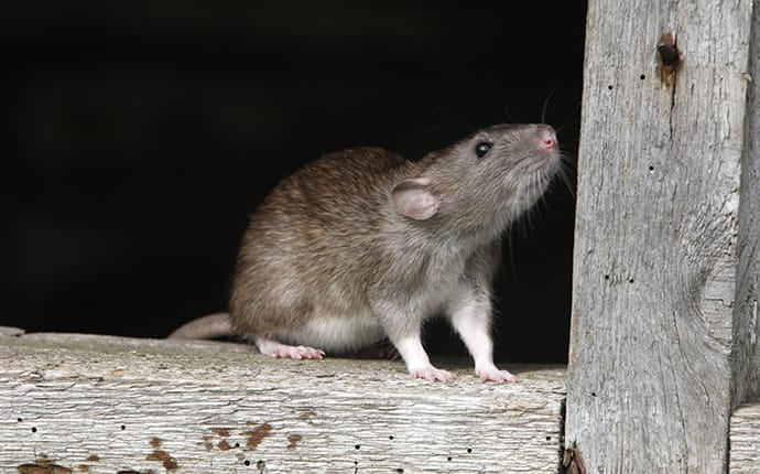 rat climbing on a wooden fence in montgomery tx