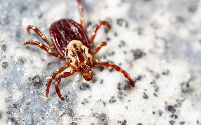 american dog tick on counter
