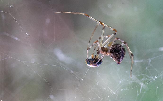 american house spider eating beetle