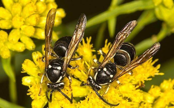 bald-faced-hornets-collecting-nectar