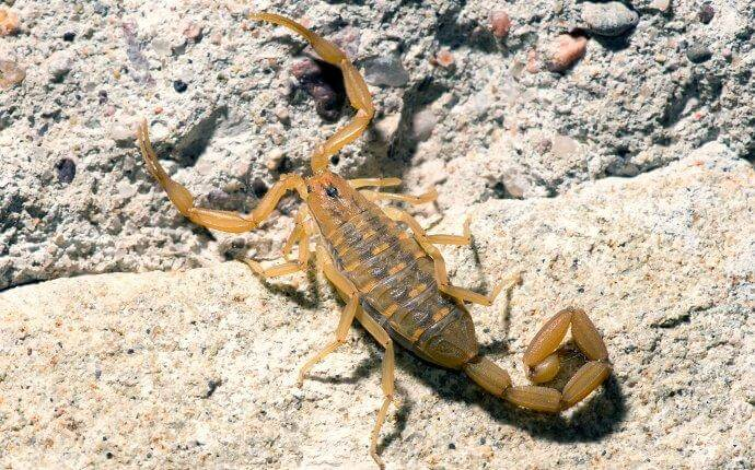 bark-scorpion-sunning-itself-on-a-rock