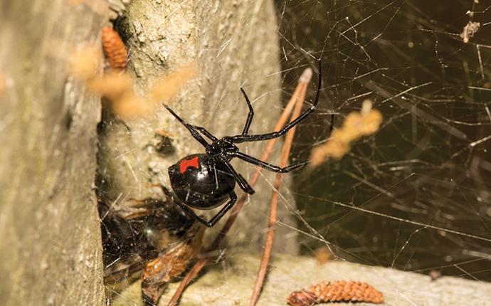 black-widow-in-web