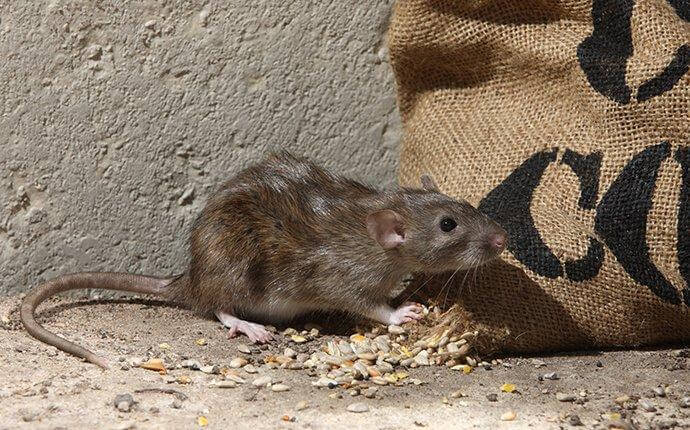 brown-rat-eating-food-in-a-basement-2