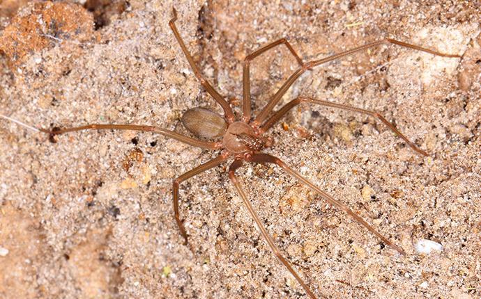 brown recluse spider on ground