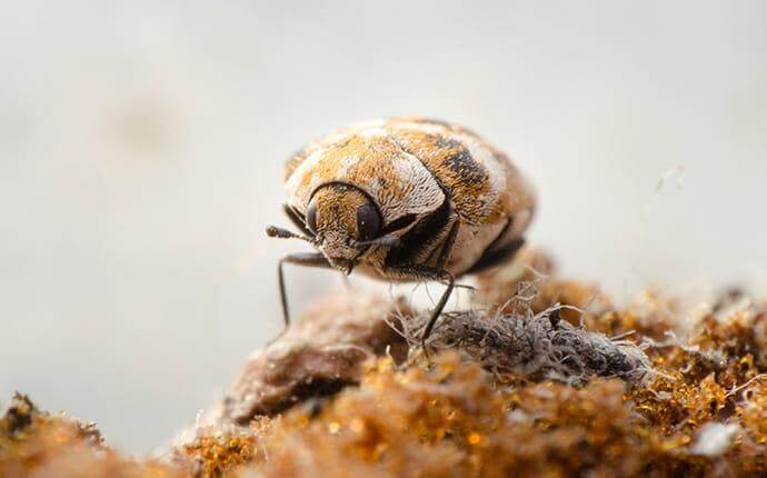 Houston's Complete Guide To Carpet Beetle Control