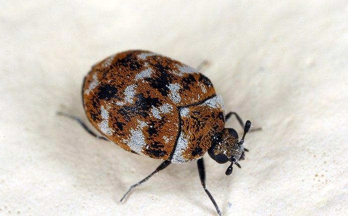 carpet-beetle-crawling-in-home-2