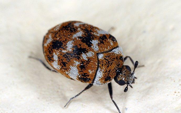 carpet-beetle-crawling-on-fabric