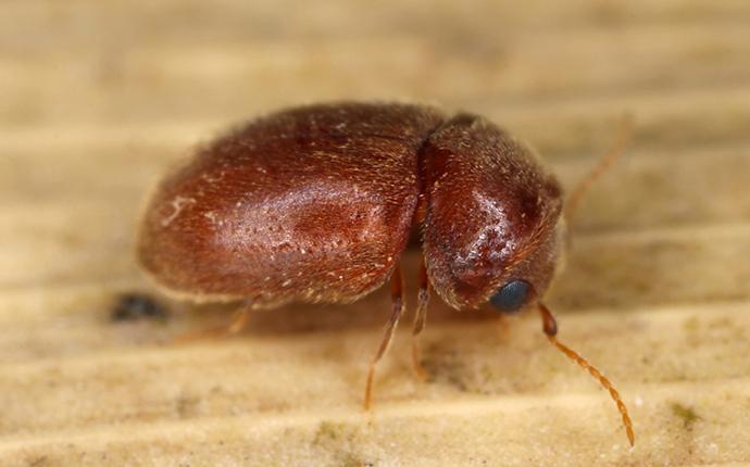 cigarette-beetle-crawling-on-a-leaf-3