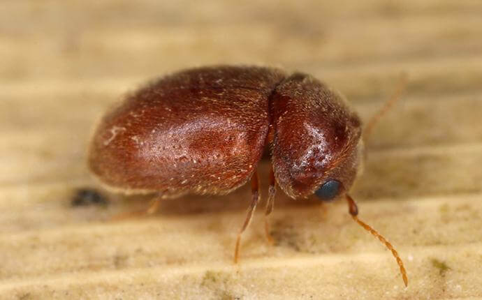 What You Ought To Know About Cigarette Beetles In Dallas-Fort Worth