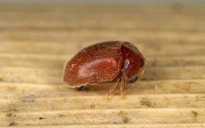 cigarette beetle in cupbard