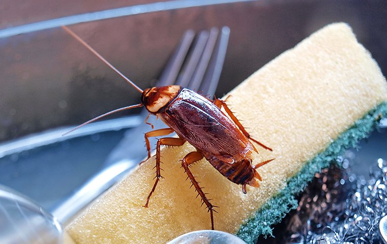 american cockroach on dirty dishes in a sink in rowlett tx