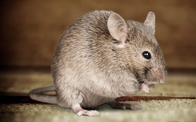 rat inside a cypress tx cupboard