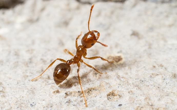 fire ant on concrete