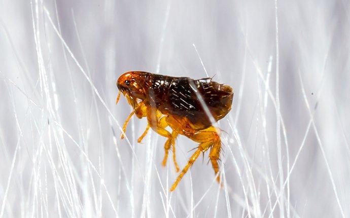 flea-crawling-in-pet-hair