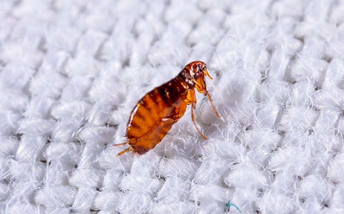 cat flea on fabric