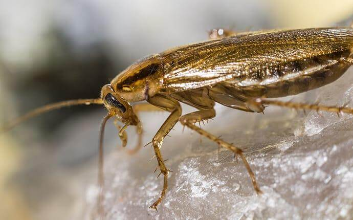 What Fort Worth Property Owners Ought To Know About German Cockroaches