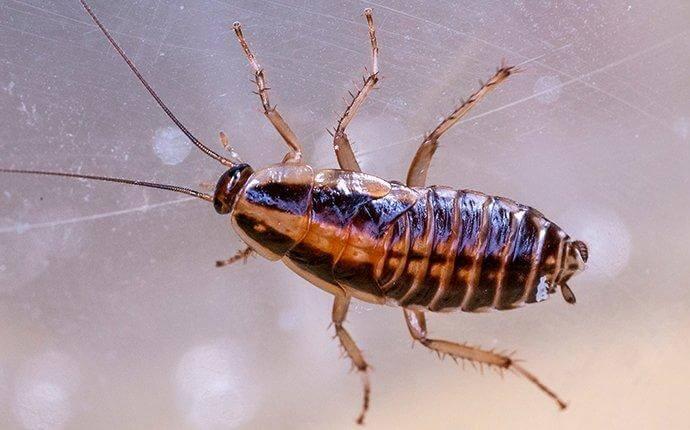 german-cockroach-crawling-on-glass