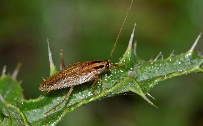 german cockroach crawling on plant