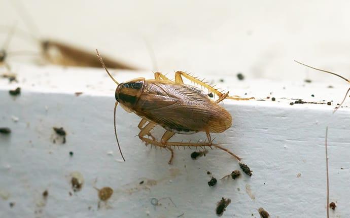 german cockroaches inside a houston tx kitchen