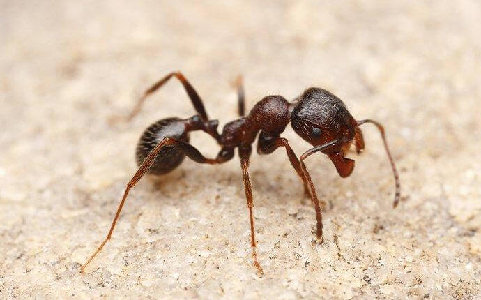 harvester-ant-crawling-near-house