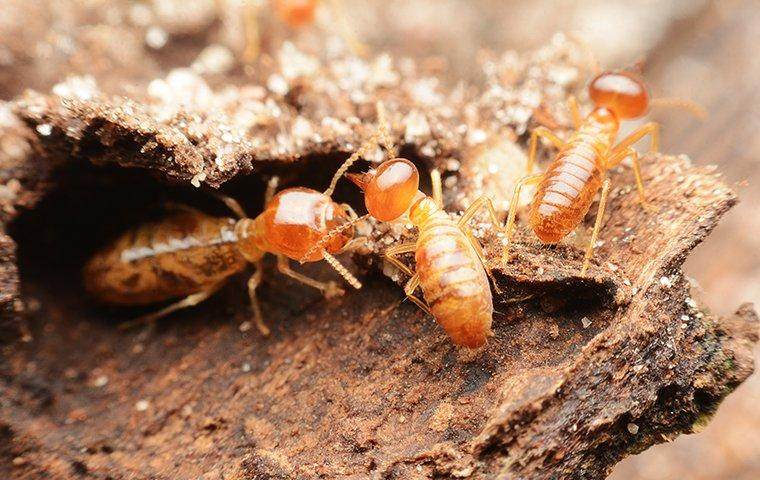 termites up close in highland village
