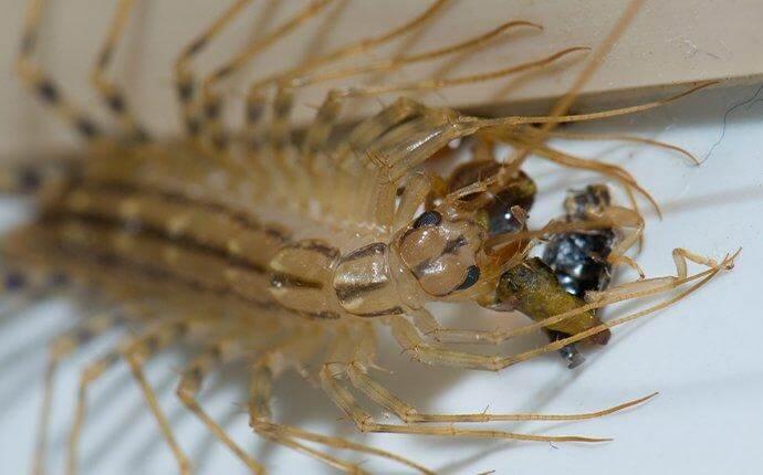 house-centipede-eating-prey