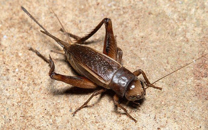 house-cricket-crawling-on-a-living-room-floor