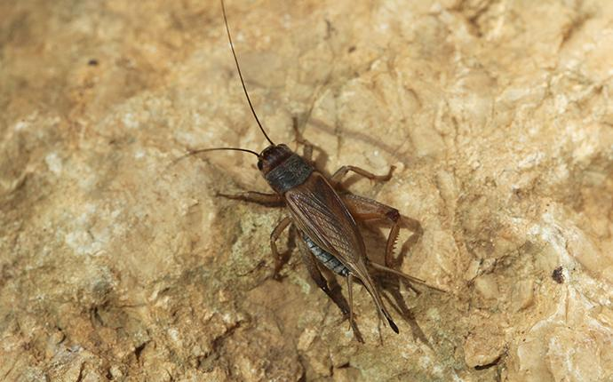 house cricket on ground