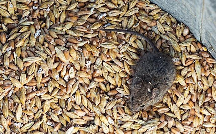 house-mouse-crawling-in-grains