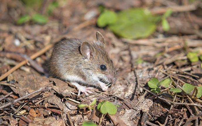 house mouse on ground