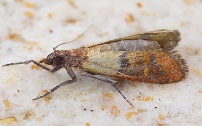 What Dallas Homeowners Ought To Know About Pantry Moths