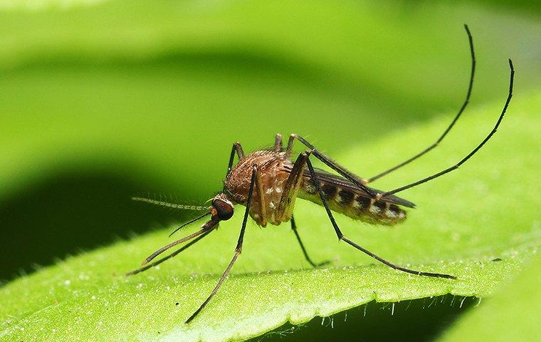 mosquito found in highland village tx