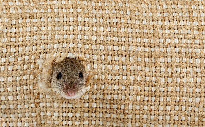mouse-chewing-a-hole-in-burlap