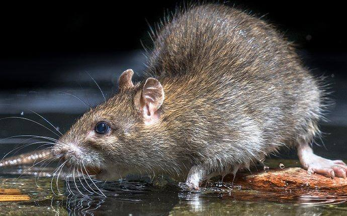 A Handy Guide To Norway Rat Control For Fort Worth Property Owners