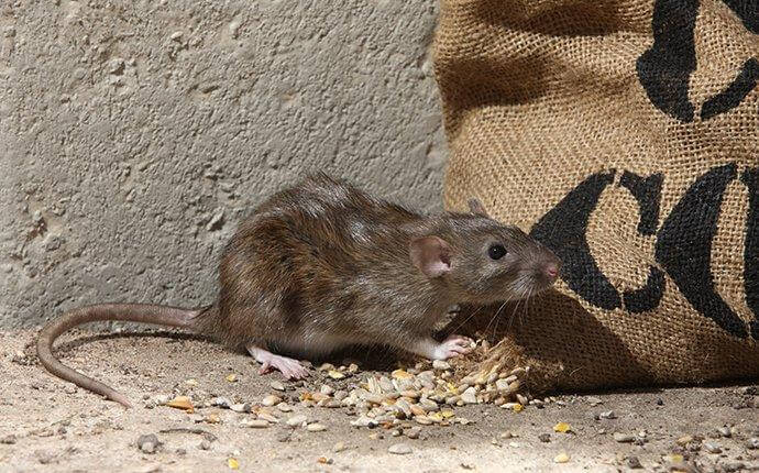 Little-Known Ways To Protect Your San Antonio Home From Rodents