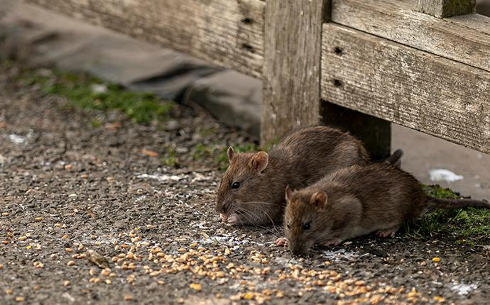 norway rats eating seeds