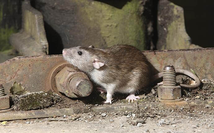 What Every Dallas Homeowner Ought To Know About Rats