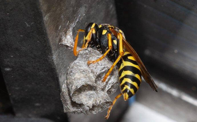 paper-wasp-building-nest-2