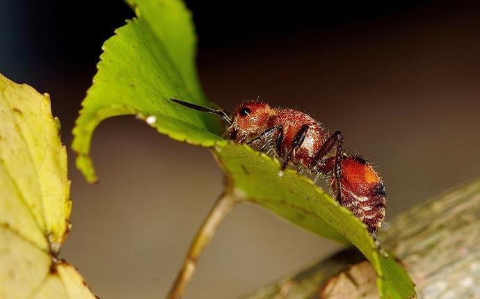 raspberry crazy ant climbing on a leaf