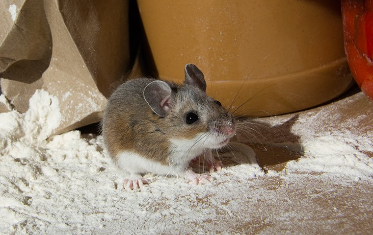 mouse contaminated stored food inside a cabinet in a fort worth tx home