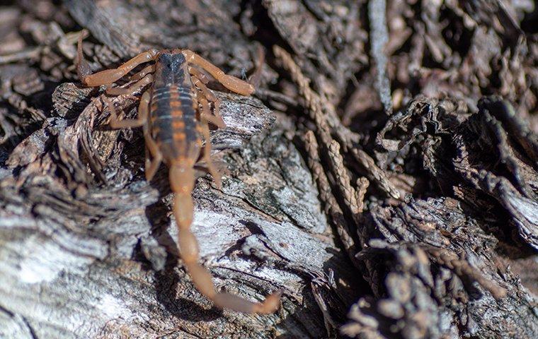 scorpion outside a canyon lake texas home