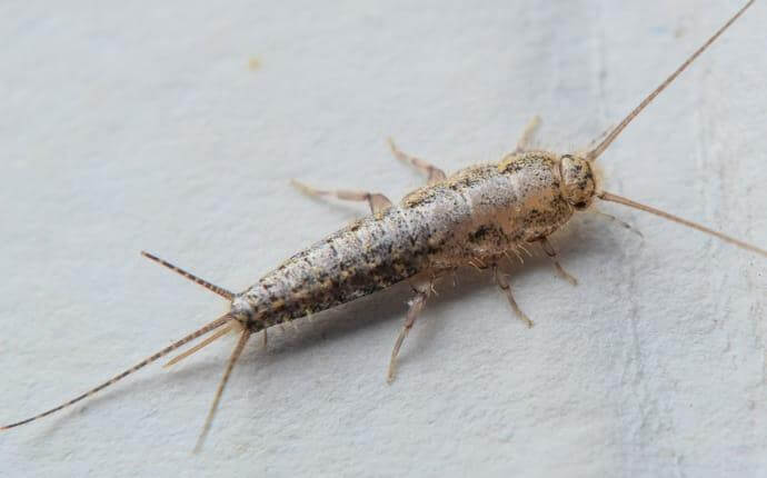 silverfish-in-home