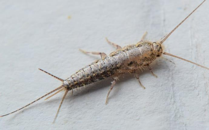 silverfish-in-houston-tx-home