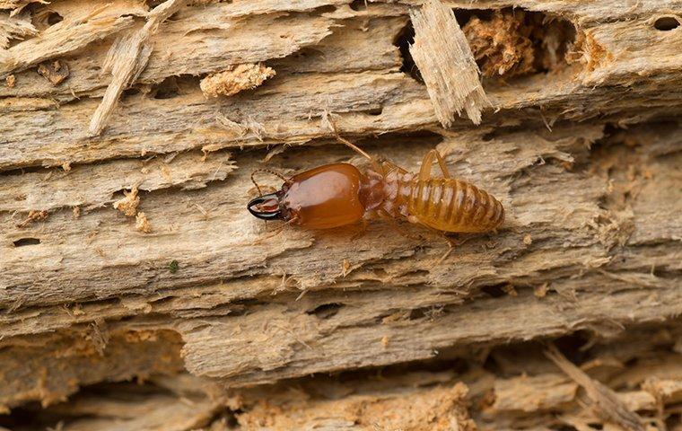 termite damage located in lantana tx