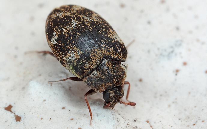 varied carpet beetle on kitchen counter