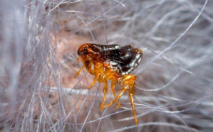 flea on dog