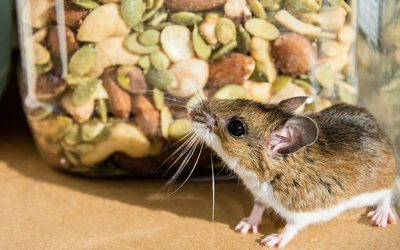 Why You Should Call The Professionals About Rodents In Your San Antonio Home