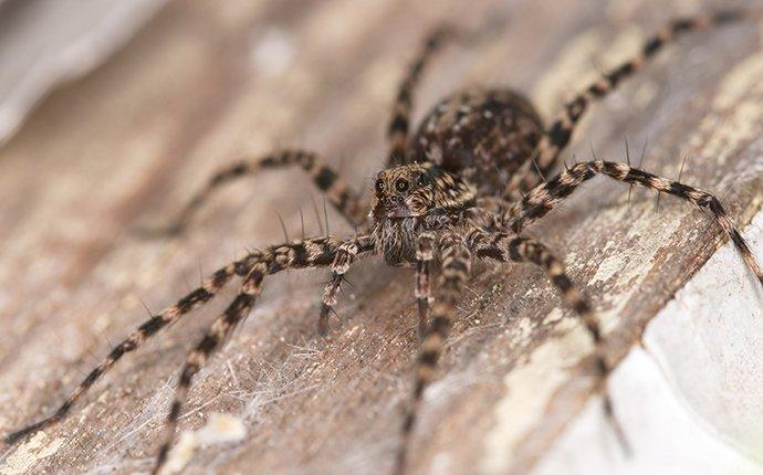 a wolf spider on wood