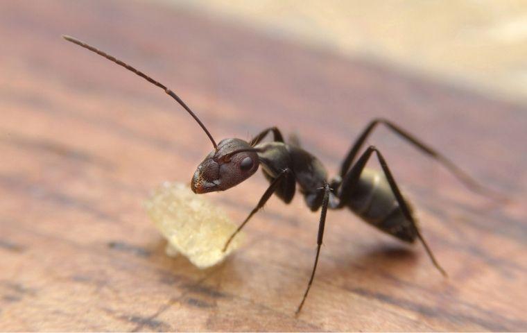 carpenter ant in a rowlett tx kitchen